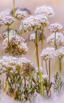 White Wild flowers by Janice Sullivan