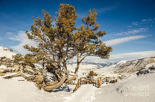 Whitebark Pine Pinus albicaulis by Sue Smith