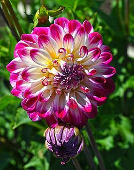 Who Dun It Dahlia Flower by Thomas J Rhodes