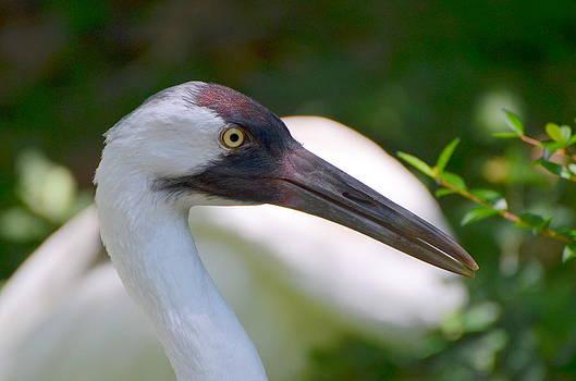 Whooping Crane by Jodi Terracina