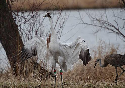 Whooping Crane Male Defensive by John Dart