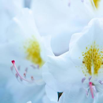 Matt Dobson - Whtie Rhododendron