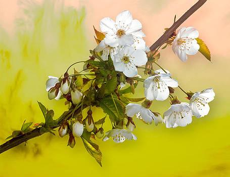 Jane McIlroy - Wild Cherry Blossom Cluster