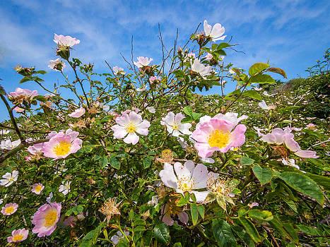 Wild dune rose no3 by Martin Liebermann
