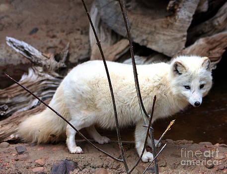 Nick Gustafson - Wild Eyed Arctic Fox
