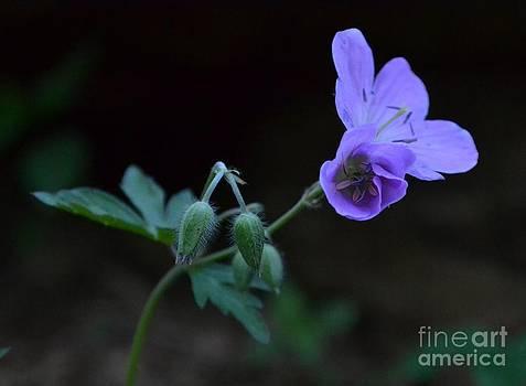 Wild Geranium by Steve Gass