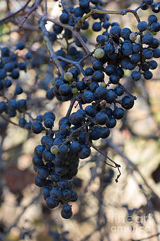Barbara McMahon - Wild Grapes