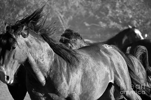 Heather Kirk - Wild Horse Stampede Black and White