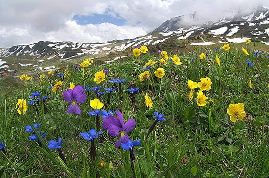 Wild Mountainflowers by Erik Tanghe