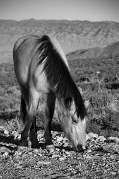 Wild Mustang  by William Shevchuk