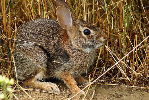 Wild Rabbit by Kim Pate