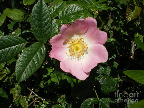 Wild Rose by Ann Fellows
