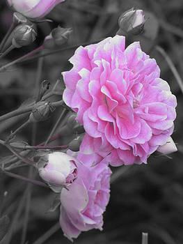 Wild Rose by Shane Brumfield