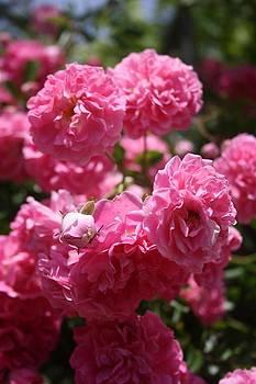 Tracey Harrington-Simpson - Wild Roses With Garden Background