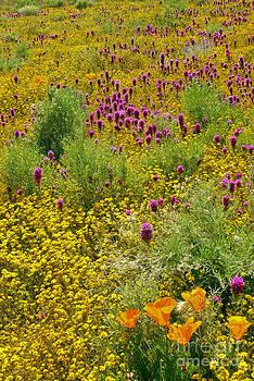 David Zanzinger - Wildflowers blooming covering the hills