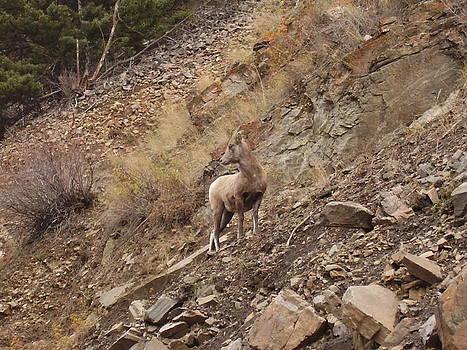 Wildlife of Montana by Yvette Pichette