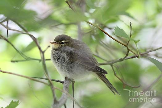 Willow Warbler by Mika Uusitalo