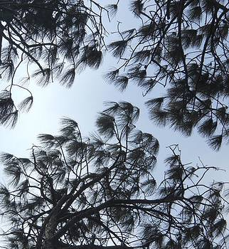 Wind in the Pines by Jeff Moose