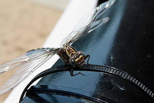 Windshield dragon fly by Maria Schaefers