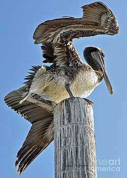 Susan Wiedmann - Wings of a Pelican