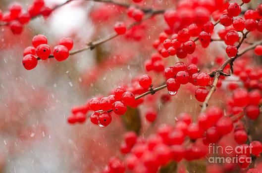 Winter Berries by Tiffany Rantanen