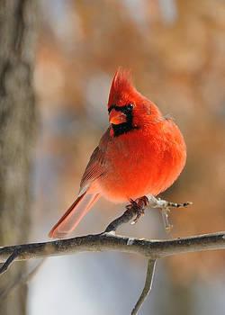 Winter Cardinal by Sarah Rodefeld