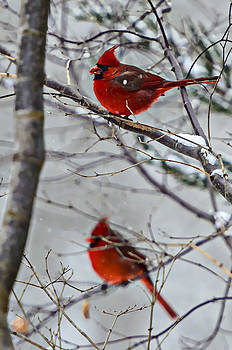 Winter Cardinals by Susan Leggett