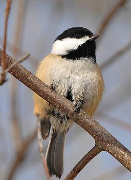 Winter Chickadee by David Marr