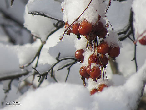 Winter Crab Apples by Steph Maxson