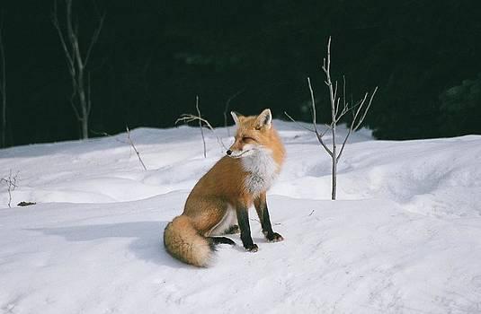 Winter Fox by David Porteus