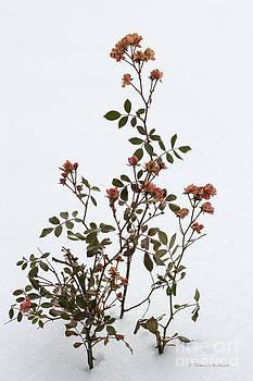 Barbara McMahon - Winter Ice Fairy Roses