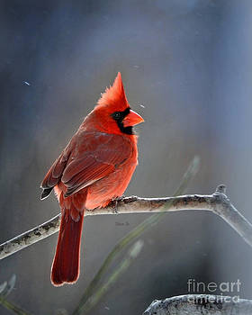 Winter Morning Cardinal by Nava Thompson