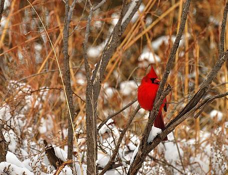 Winter Red by Diana Cannon