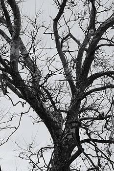 Winter Sycamore by Daniel J Kasztelan