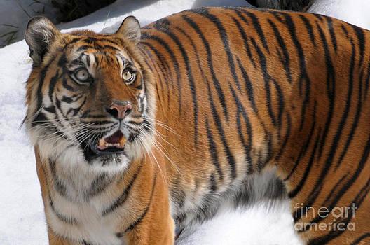 Winter Tiger by Dan Holm