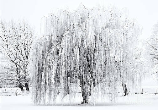 Mike  Dawson - Winter Willow