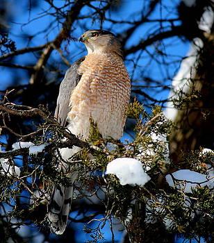 Rosanne Jordan - Wintertime Cooper Hawk