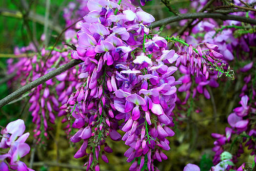 Wisteria by Carolyn Ricks