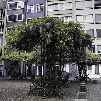 Teresa Mucha - Wisteria Umbrellas Cologne