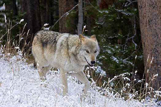 Wolf Alpha Female Canyon Pack by Bill Keeting