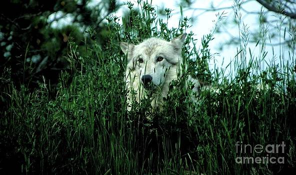 Wolf in Wait by Charleen Treasures