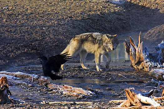 Wolf Pup Canyon Pack by Bill Keeting