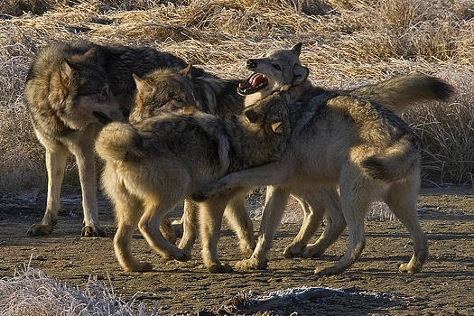 Wolves Canyon Pack by Bill Keeting