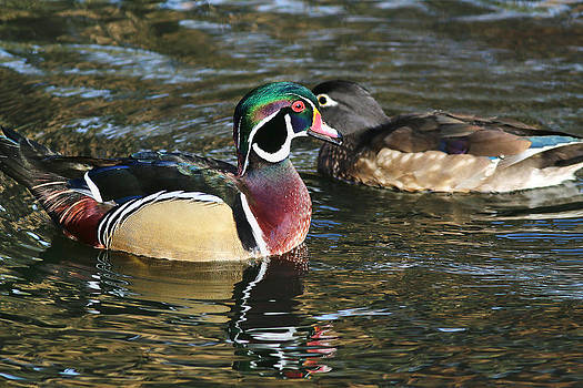 Wood Duck Pair by Abram House