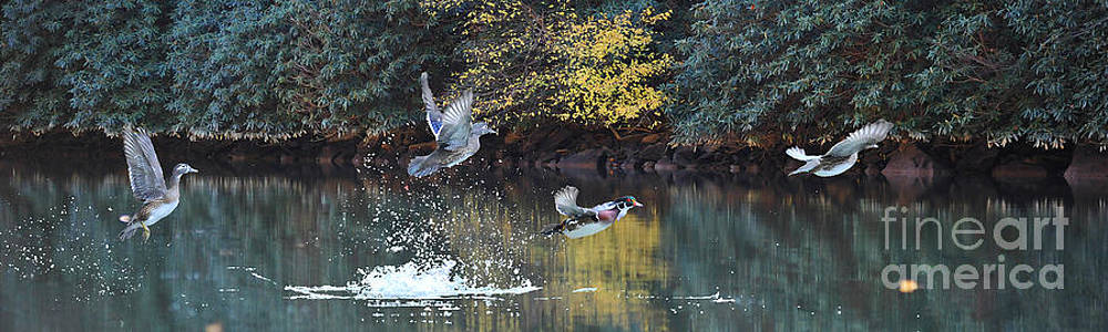 Dan Friend - Wood ducks taking off in flight