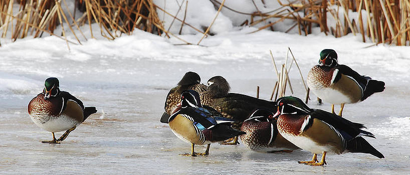 Woodies on Ice by Thomas Pettengill