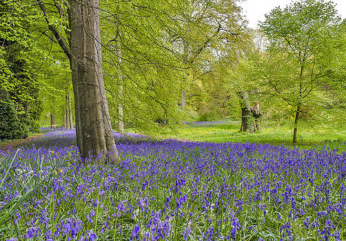 Woodland Walk in Blue by Trevor Kersley