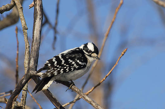 Woodpecker by Cheryl Cencich