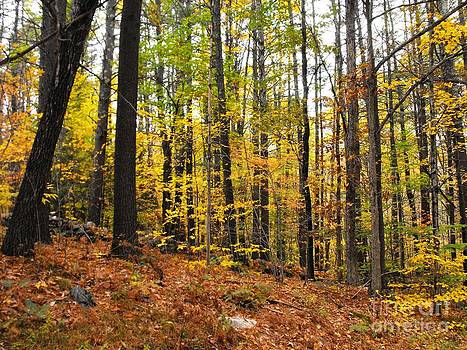 Woods In Fall by Lisa Gifford