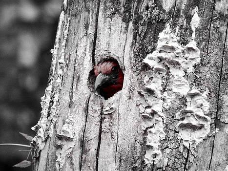 Woody woodpecker by Nicole Champion